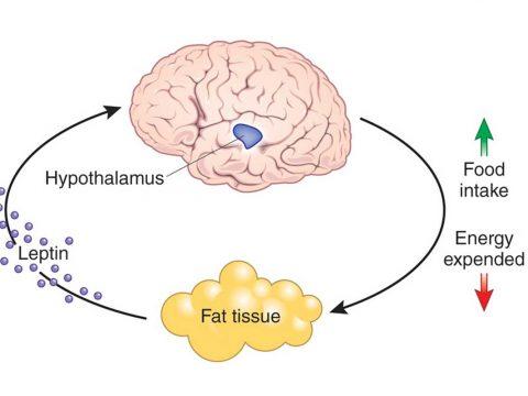 هورمون لیپتین موثر در افزایش وزن بانوان - داروشناسی و هورمون ها