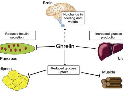 هورمون گرلین (Ghrelin) موثر در افزایش وزن بانوان - داروشناسی و هورمون ها