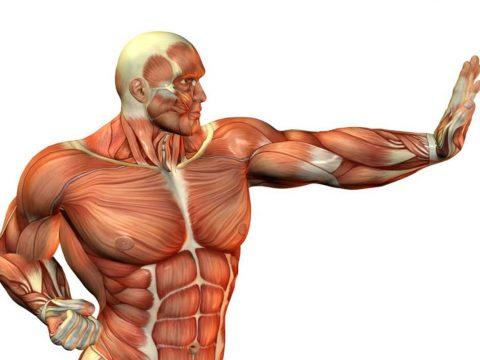 انواع تارهای عضلانی - بدنسازی - مقاله بدنسازی